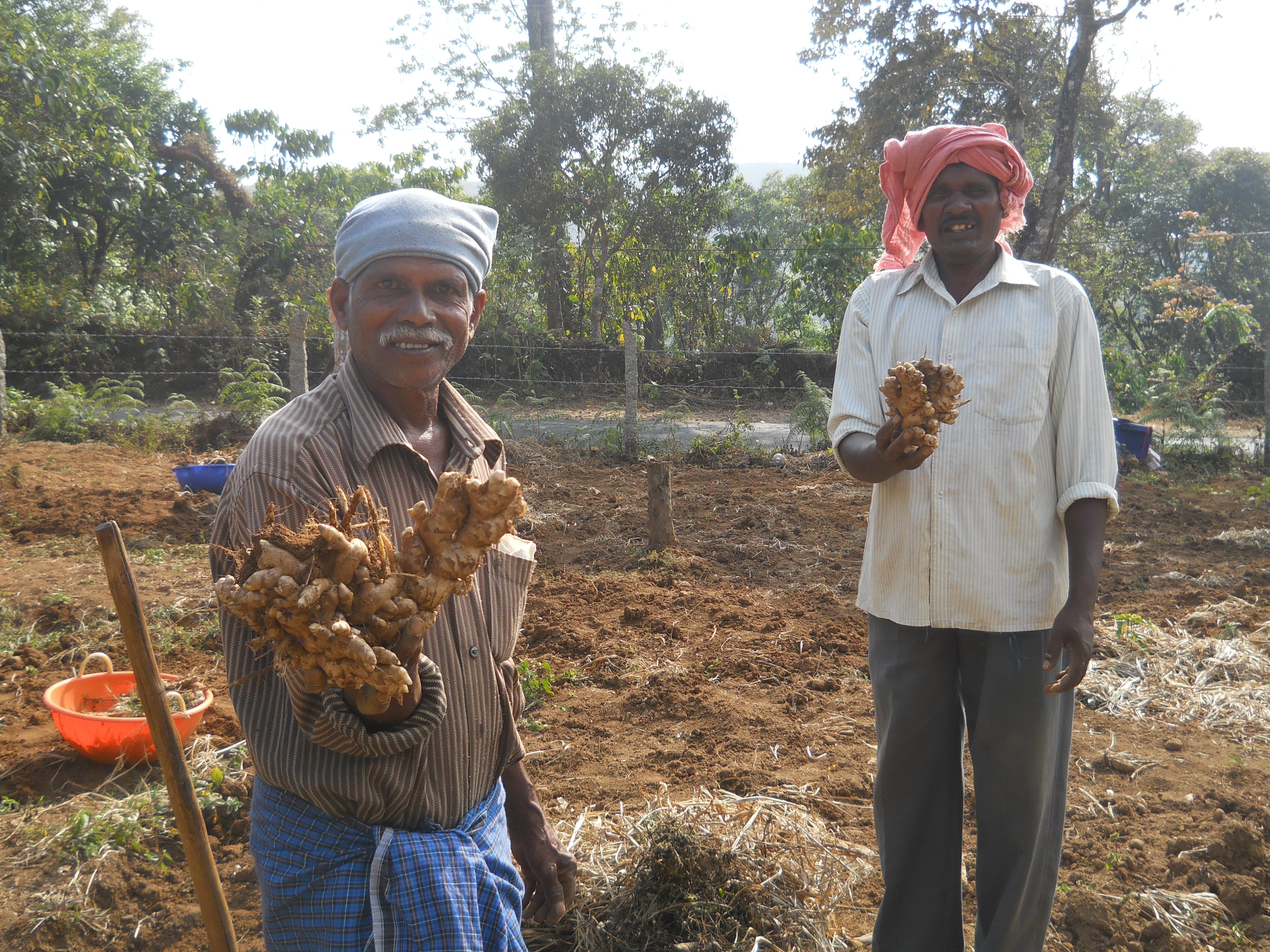Demonstrated improved varieties of ginger and turmeric.