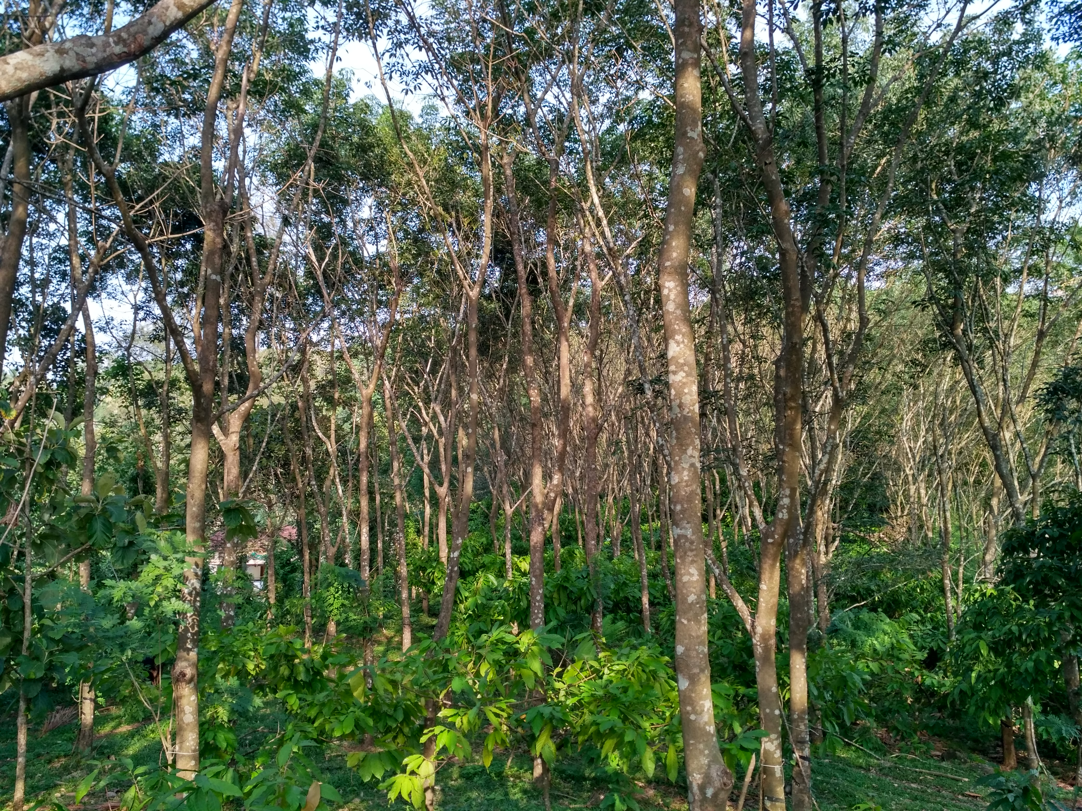 Multi layer farming technology in rubber plantations