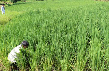 System of Rice Intensification following seed sowing directly in the field(2017)Phase I