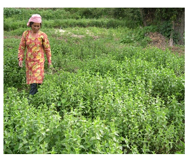 Chirayita Cultivation, Processing and Value Addition