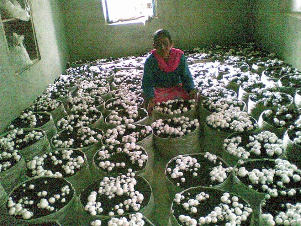 Button Mushroom Cultivation