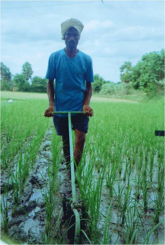 System of rice intensification (SRI) method of paddy cultivation