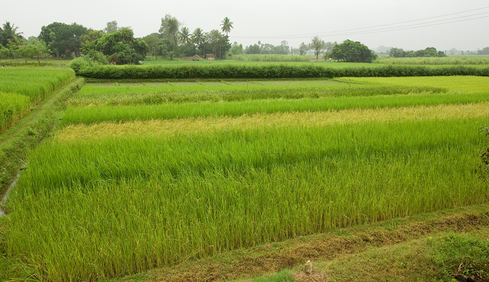 Documentation of Traditional Paddy Varieties